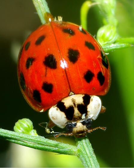 What are some treatments for ladybug infestations?