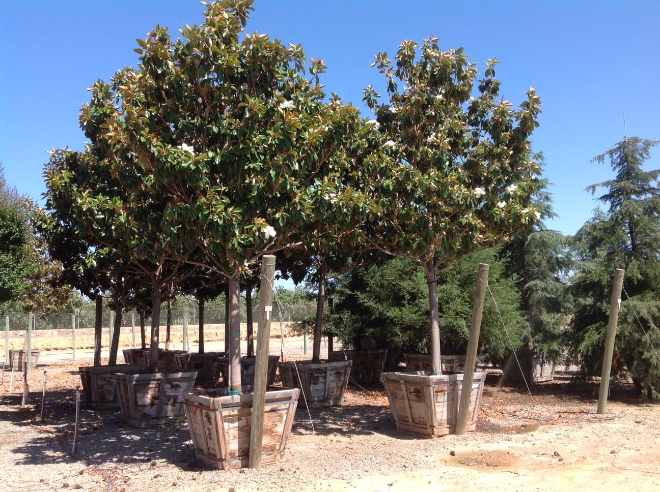 L B Nurseries Magnolia St Marys Image Proview
