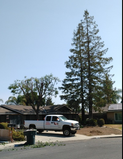 August 2016- Trimmed 2 Redwood Trees - California All Star Tree Services