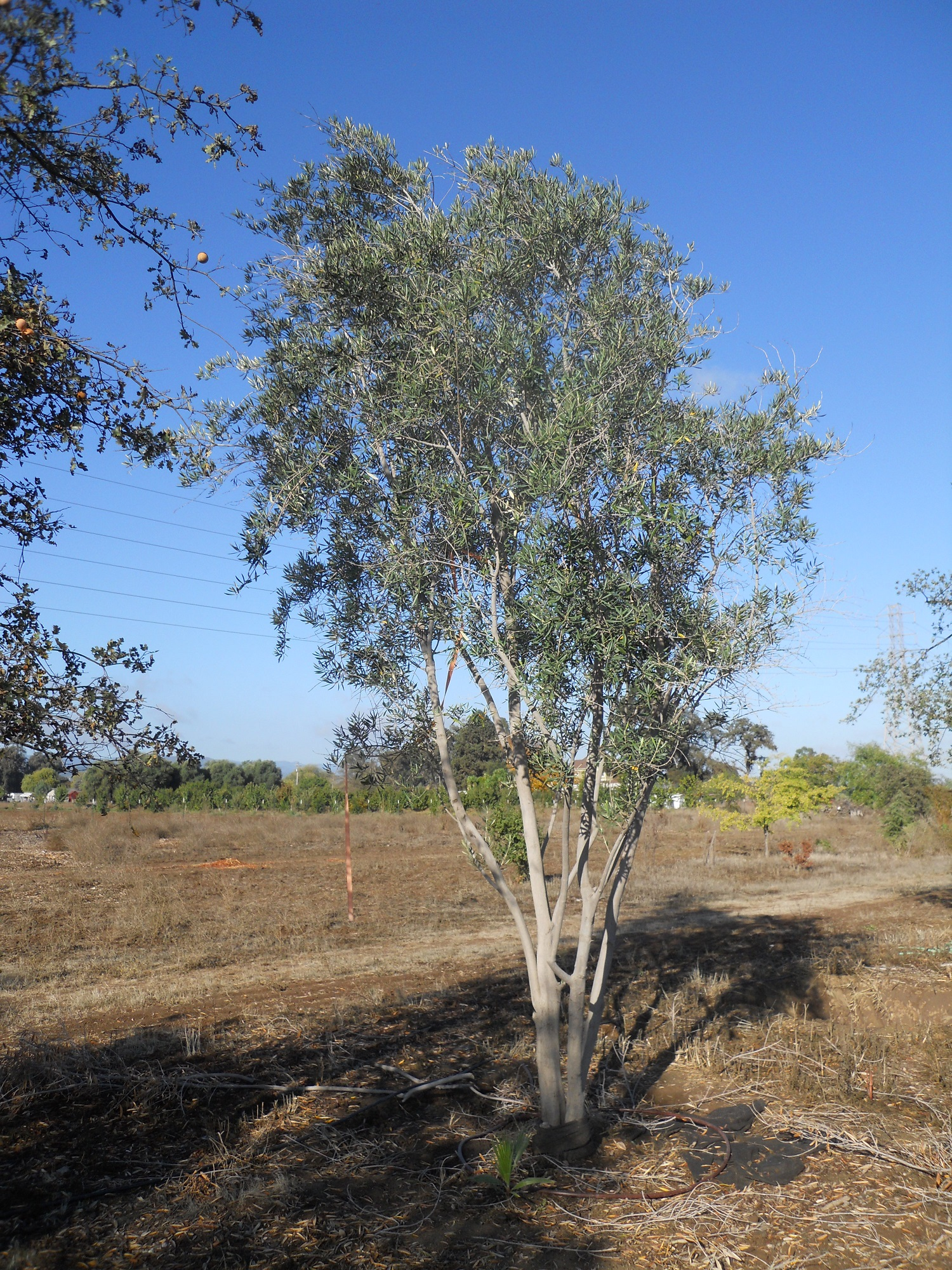 Swan Hill Olive Tree Image